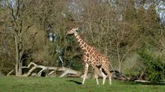 A Giraffe Walking In a Field, 4K Stock Footage