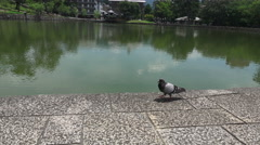 Japanese Wood Pigeon On Stones By Water Sarusawa-ike Pond Stock Footage