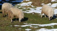 Sheeps Eating Outside At Winter - Domestic Animals - Winter - stock footage