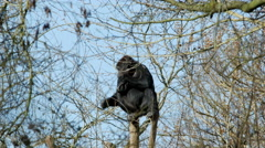 A Gorilla Sitting at the Top of a Tree - stock footage