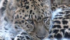 Endangered Amur Leopard Close Up 2 Stock Footage