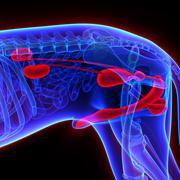Dog Urogenital System - Canis Lupus Familiaris Anatomy - isolated on black - stock photo
