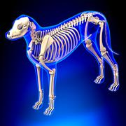 Dog Skeleton - Canis Lupus Familiaris Anatomy - perspective view - stock photo