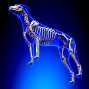 Dog Skeleton - Canis Lupus Familiaris Anatomy - perspective view Stock Photos