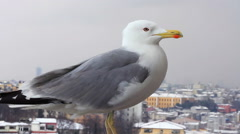 Yellow legged gull, larus cachinnans Stock Footage