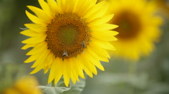Sunflower pollinated by bees Stock Footage