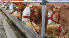Calves and Cows in Cowshed Stock Footage
