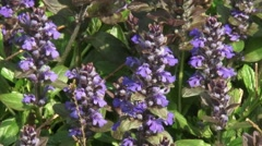 Carpet bugleweed ( Ajuga reptans ) close up + zoom out Stock Footage