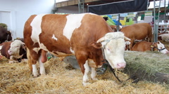 The big bull eating in a cowshed Stock Footage