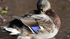 Mallard duck cleaning feather by pond shore Stock Footage