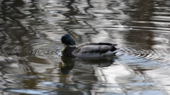 Mallard duck looking for food in pond water Stock Footage