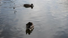 Mallard ducks swimming in pond water Stock Footage