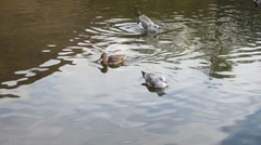 Mallard duck and seagull swimming in pond water Stock Footage