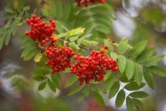 Ashberry - Sorbus aucuparia - stock photo