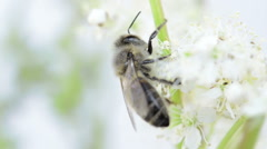 Bee foraging - stock footage