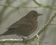 Eurasian Blackbird, Turdus merula, in snowstorm, perched on a branch Stock Footage