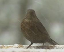 Eurasian Blackbird, Turdus merula, in snowstorm, on a bird feeder table Stock Footage
