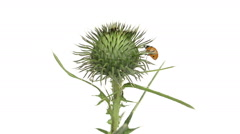 Ladybird on a thistle Stock Footage