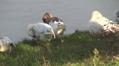 Zoom out unique natural landscape wild gooses and ducks on lake, park background Stock Footage