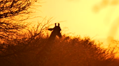 Giraffe in African Sunset Stock Footage