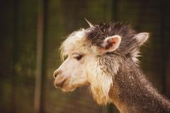 Portrait of Fluffy young Alpaca Vicugna pacos - stock photo