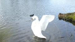 4k Swan dance, wings flying and swimming in lake - stock footage