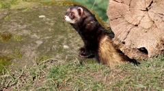 Polecat looking from behind tree stump. Stock Footage