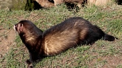 Polecat. Side View.  Stock Footage