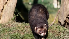 Polecat. Front on View. Stock Footage