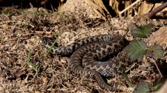Adder Basking in The Sun. Stock Footage