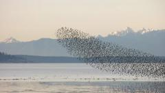 Birds Show 4K Skagit Bay WA Stock Footage