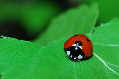 Little ladybug crawling on green leaf in the sun Stock Photos