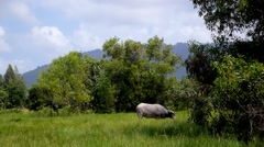 Asia Buffalo in Country Field with Green Grass Stock Footage