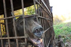 Brown bear (Ursus arctos) imprisoned in a cage - stock photo