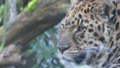 Stock Video Footage of Rare Amur Leopard