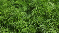 Carrots on a patch HD Stock Footage