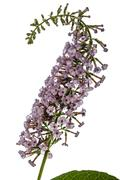 Flowers of Buddleja, lat. Buddleja davidii, isolated on white background Stock Photos