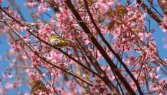 Little bird on branch of pink sakura blossoms at Phu Lom Lo mountain, Thailand Stock Footage