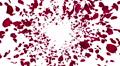 Rose petals red front Bw 4K 4k or 4k+ Resolution