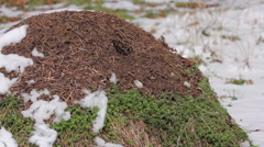 Anthill at spring - stock footage