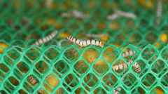 Close up of silkworm Stock Footage