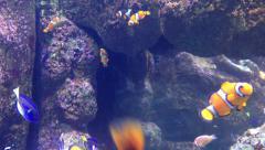 Aquarium – Clown Fish Stock Footage