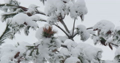 4K, Winter trees under first snow Stock Footage