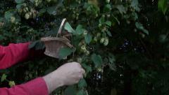 Gardener picking harvesting fresh hop cones Stock Footage