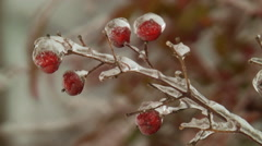 Close up frozen red berries on stalk Stock Footage