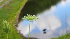 Wildflower Blowing in a Gentle Breeze Stock Footage