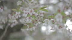 Cherry Blossom Flowers 1 Stock Footage