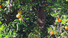 Swarm Endangered Bees in An Organic Orange Tree 4K Stock Video Footage Stock Footage