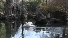 Beautiful white swan floating on the lake Stock Footage