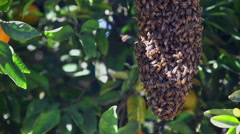 A Swarm of Endangered Bees in An Organic Orange Tree 4K Stock Video Footage - stock footage